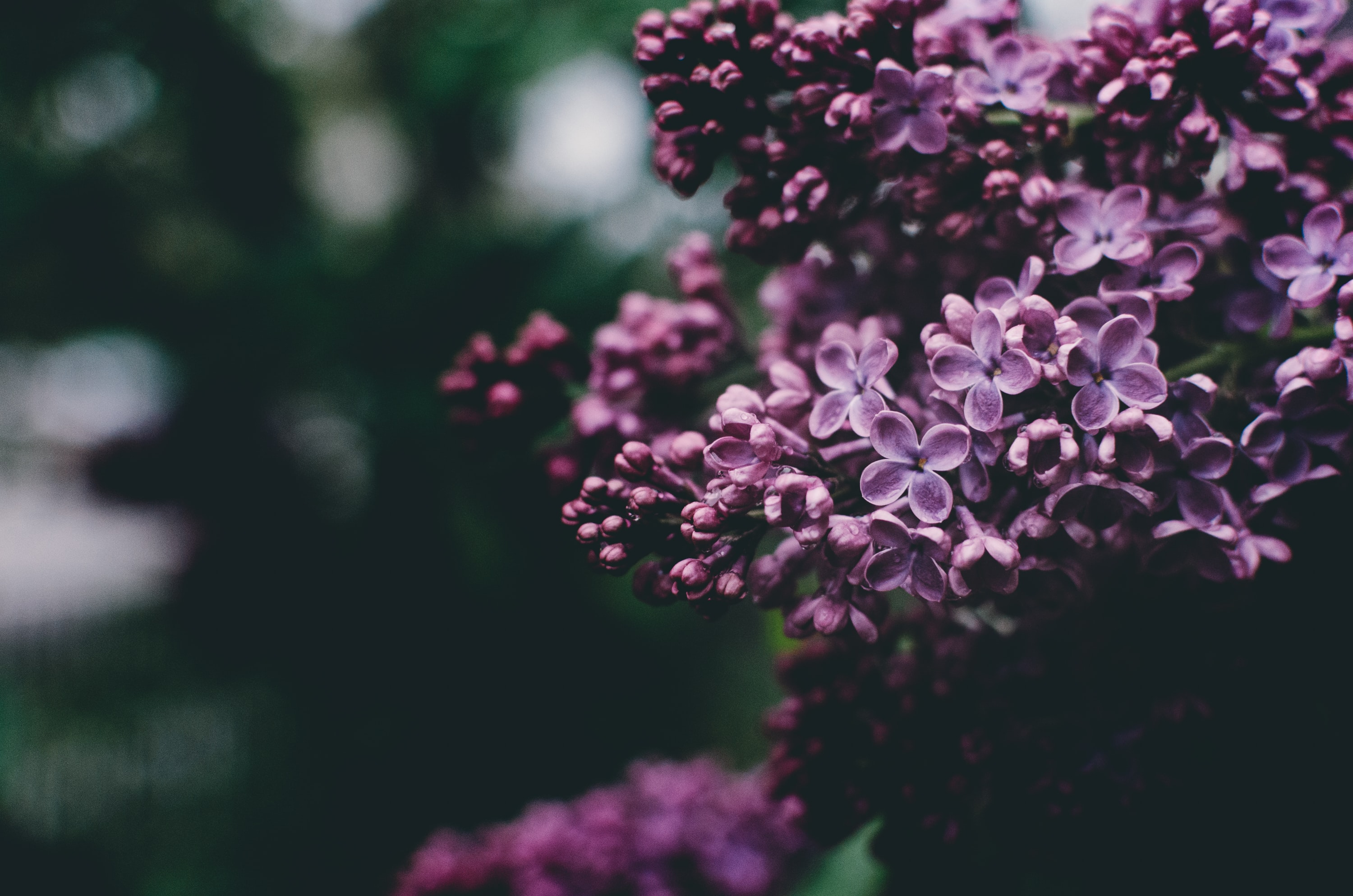 rochester lilac